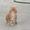 МЕЙН-КУН. Котята. #1492548