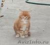 МЕЙН-КУН. Котята.